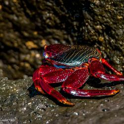 Rots krab