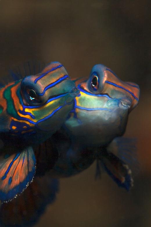 Mandarin Fish - Een koppel parende Mandarin vissen.<br /> Deze kleurrijke vissen (5-7cm) komen tegen schemertijd tevoorschijn uit het vuurkoraal om t