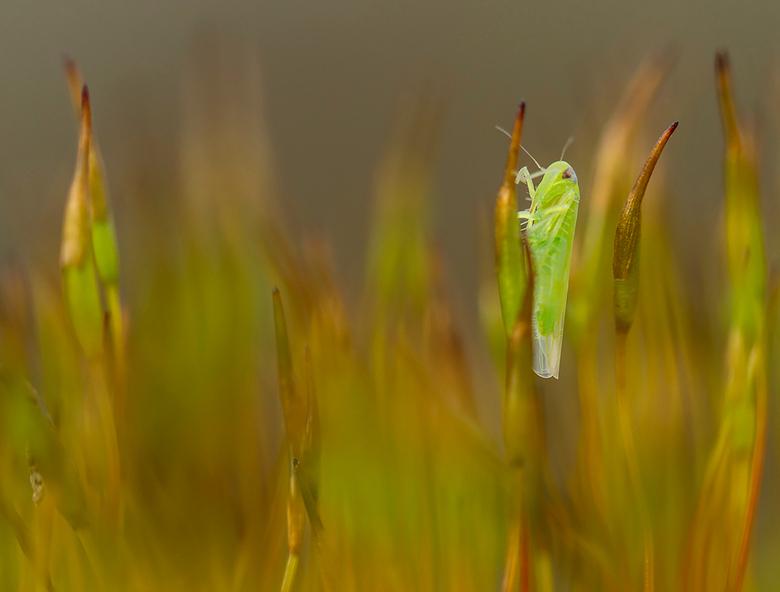 een vroege start - Deze nimf vond ik vanmiddag in mijn tuin op de mosjes die op een muurtje groeien. Gauw de camera en statief opgehaald, macrolens me