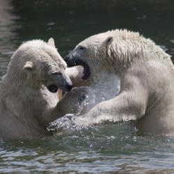 IJsberen Fight