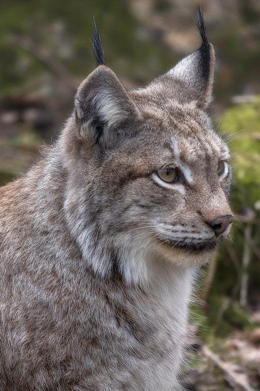 lynx - lynx in Biotopwildpark Anholter Schweiz
