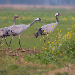 Kraanvogel gezin in Diepholz