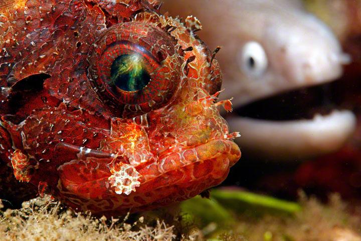 Partners in Crime - Een Schorpioenvis trekt zich niets aan van de Murene die angstig naar hem kijkt. Beiden zijn jagers maar vinden elkaar bleikbaar t