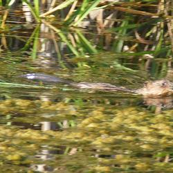 Bever of toch een otter? Helaas het blijkt een muskusrat/water konijn te zijn.