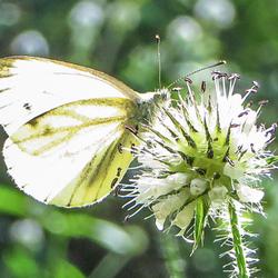 een witte vlinder