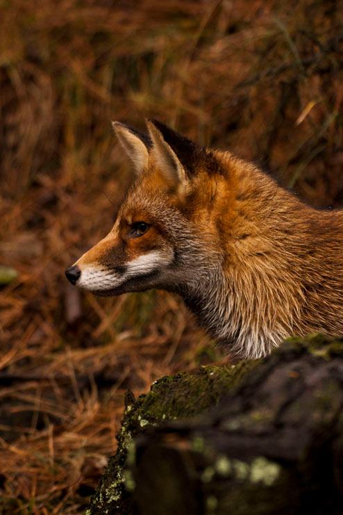 Dhr. Vossius - Geweldig mooi diertje in de Amsterdamse Waterleidingsduinen!