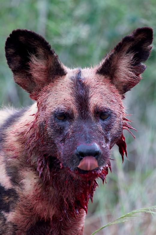 Messy Makanyani. - Portret van een wilde hond net na een 'kill' van de roedel op een gnoe