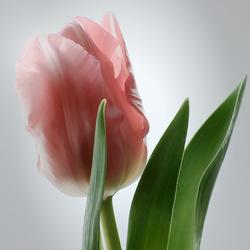 Tulp in kleur