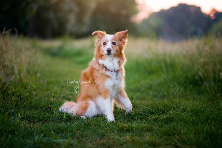 Hond Beertje - Prachtige dame van 13 die nog even model stond tijdens de laatste zonnestralen. Beertje, wat ben je mooi!