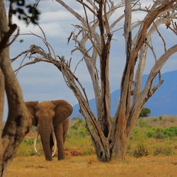 Red Elephan at Tsavo East