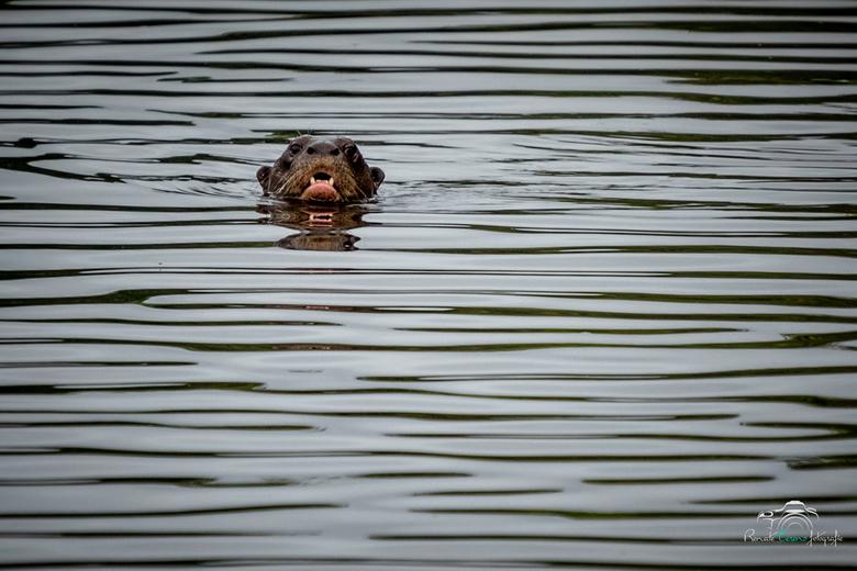 Otter Peru -