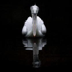 Pelican Mirror II