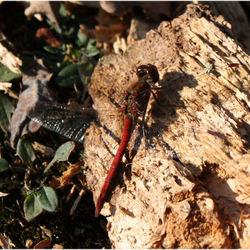 naam onbekend-rode libelle
