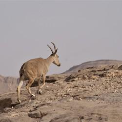 Steenbok in woestijn