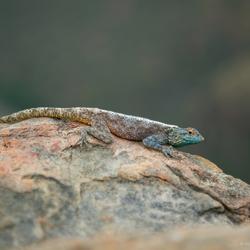 Lizard, on the rocks