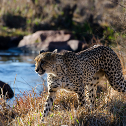 Cheeta op jacht