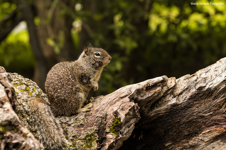 I see you - Mijn eerste ontmoeting met grondeekhoorns in het Sequoia National Park in Californie. <br /> <br /> How cute!