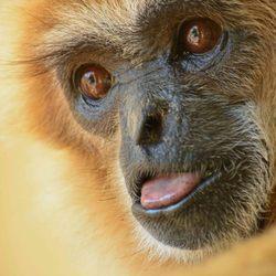 Portret van een withand gibbon