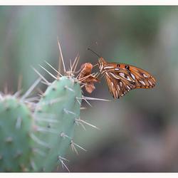 Veilig oranje parelmoervlinder