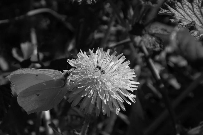 Mierenvlinder - Ik kwam deze wel heel bijzondere ontmoeting tussen vlinder en mier tegen. De vlinder bleef slechts enkele seconden zitten: precies gen