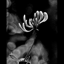 honeysuckle  rose ..
