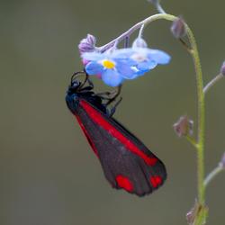 Sint-jacobsvlinder