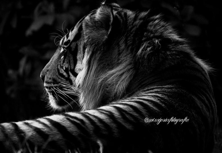 Black-white tiger -