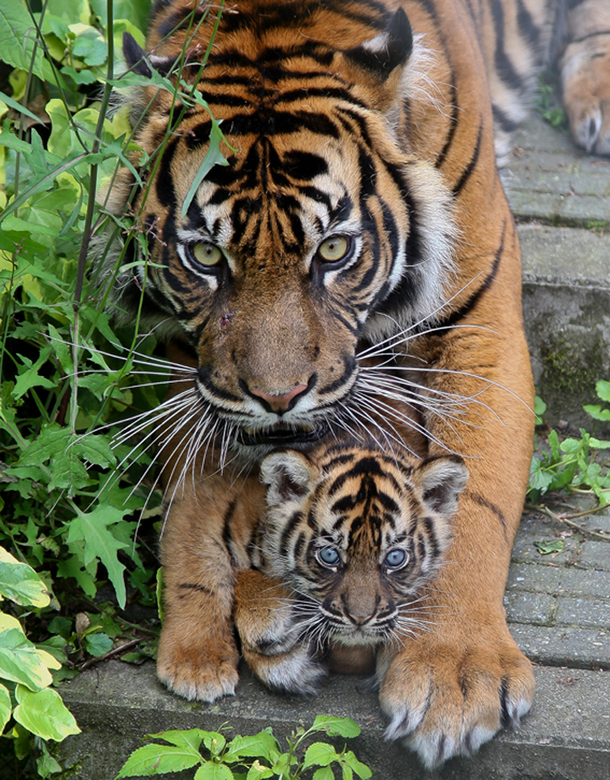 white tiger cubs with mother