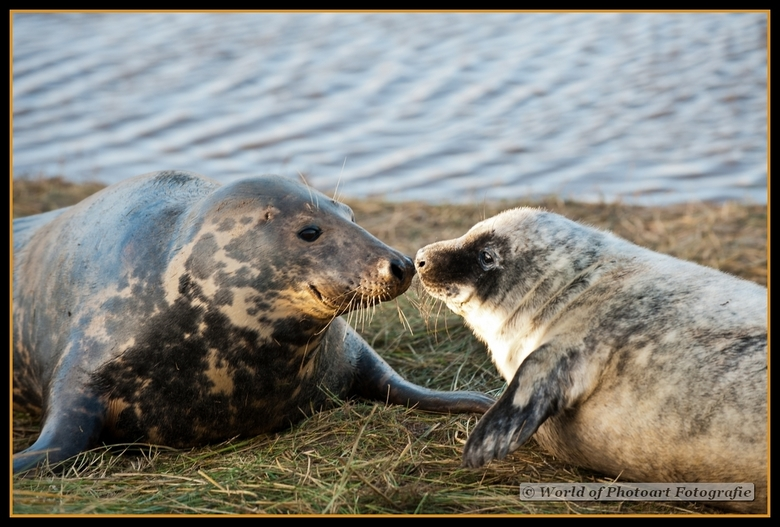 De grijze Zeehond - Engelse grijze zeehond