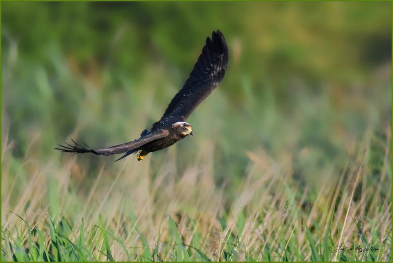 Verkenning - Zodra de tijd rijp is verlaten de jonge Bruine kiekendieven voor korte verkenningstochtjes het nest. Naar mate de dagen vorderen worden d