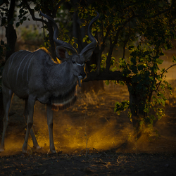 Kudu in Golden Dust