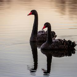 Zwarte zwanen