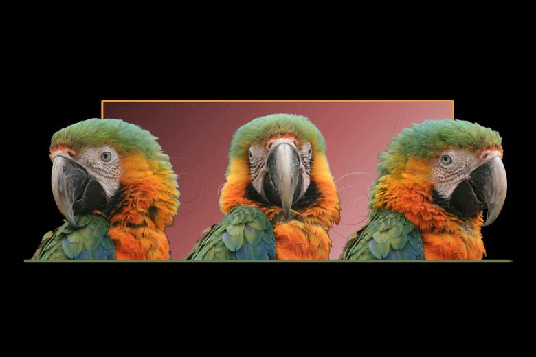 The three stooges - Papagaai collage. Het is één papagaai van drie kanten gefotografeerd.