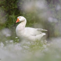 Emden goose 'romantic look'