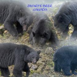 Compulatie beren