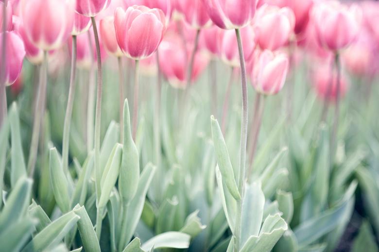 """Licht - Nog maar een tulpenfoto <img  src=""""/images/smileys/smile.png""""/> Deze vult momenteel mijn bureaublad, omdat &#039;ie lekker vrolijk maar ook ru"""