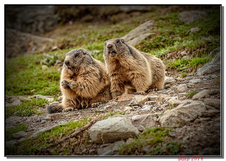 Mormels - Mormels boven Saas Fee. Geen kunst om ze te fotograferen want ze werden a.h.w. op afstand bestuurd. Deze populatie murmeltieren is zo tam da