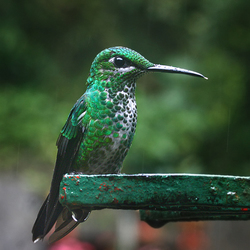 Kolibrie in regen