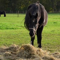 Hattem Paard