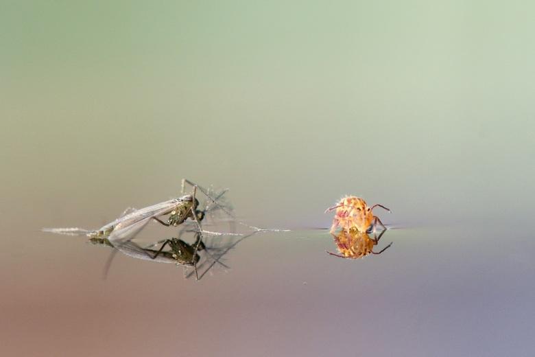 Dansmug en springstaartje op water in volgeregende emmer. -
