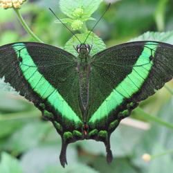 In de vlinderkas