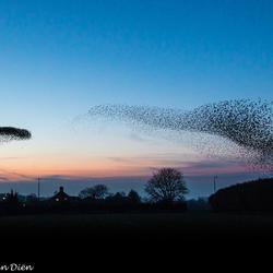 spreeuwen veranderen in enorme roofvogel