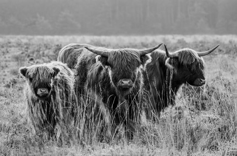 Schotse Hooglanders - Schotse Hooglanders op de Veluwezoom