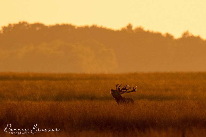 Burlend hert in het gouden uurtje op de Veluwe  -