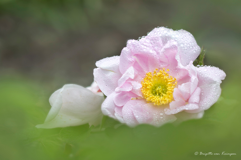 Pink - Niet helemaal mijn ding, grote bloemen, maar ik ben de uitdaging toch aangegaan.<br /> Een roos de in de duinen groeit, met dauw druppels.<br