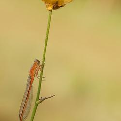 Tengere grasjuffer (vrouwtje)