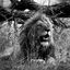 Lion - Krugerpark