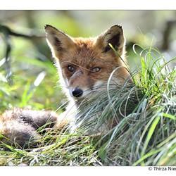 Charming Fox
