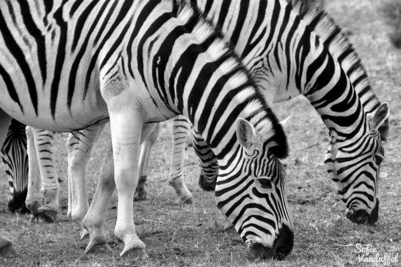 Zebra - Afrikaanse zebra's. Uitzonderlijk prachtige dieren in de natuur!