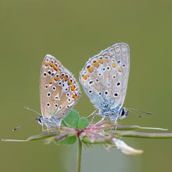 Icarusblauwtje man/vrouw